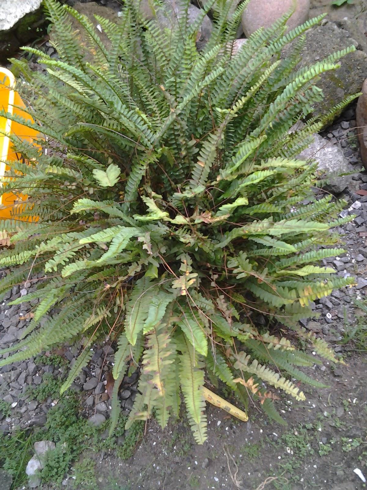 Plantas de panam for Plantas ornamentales clavel
