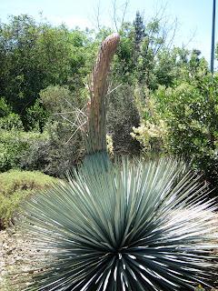 Hesperoyucca whipplei flowering, Ruth Bancroft Garden