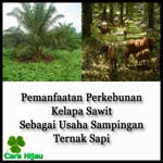 Pemanfaatan Perkebunan Kelapa Sawit Sebagai Usaha Sampingan Ternak Sapi