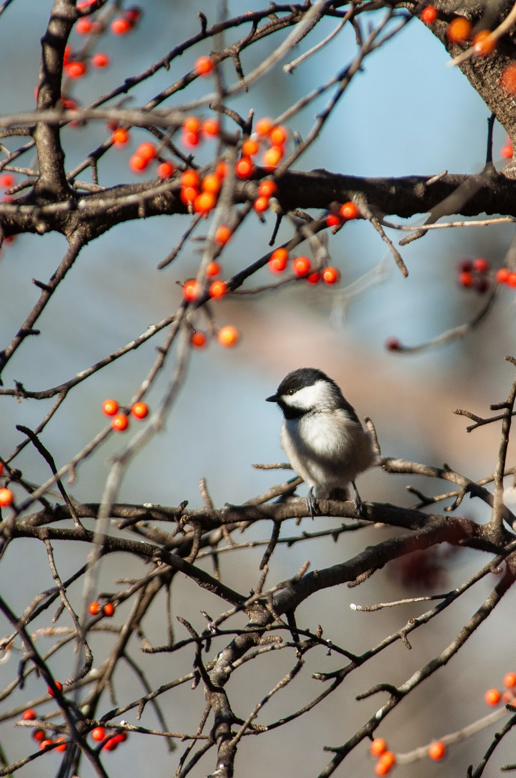 Carolina Chickadee, The Heard
