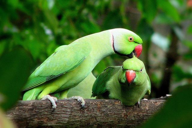 animalia,chordata,bird,aves,neognathae,cacatuoidea,parrot
