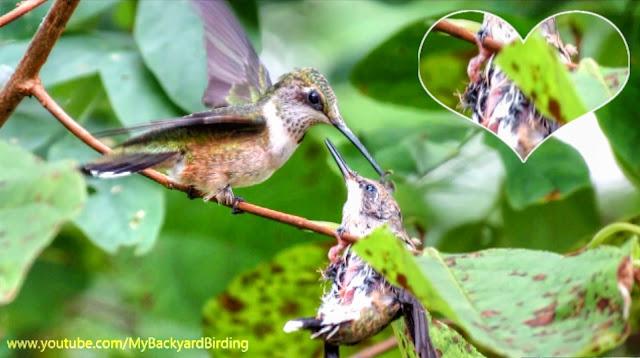 Ruby Throated Hummingbird mother feeding baby