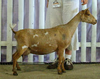 Reference Nigerian Dwarf goat doe