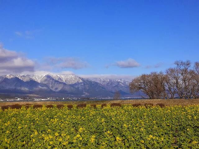 守山市のなぎさ公園の一角に菜の花畑がある。