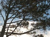 Pine tree  pics Uruguay