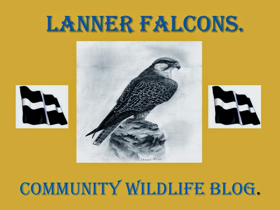 LANNER FALCONS COMMUNITY NATURE BLOG.