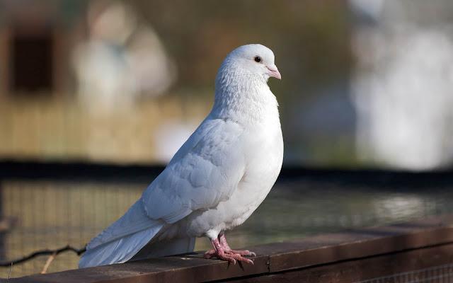 Foto de una Paloma Blanca - imágenes de aves