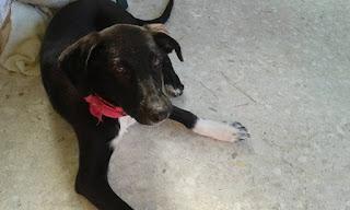 Χάθηκε στο Μετς σκυλάκι, 6 μηνών με φούξια λουράκι!