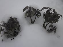 Sage under Snow