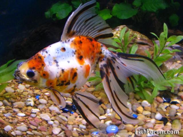 Gold fish 9