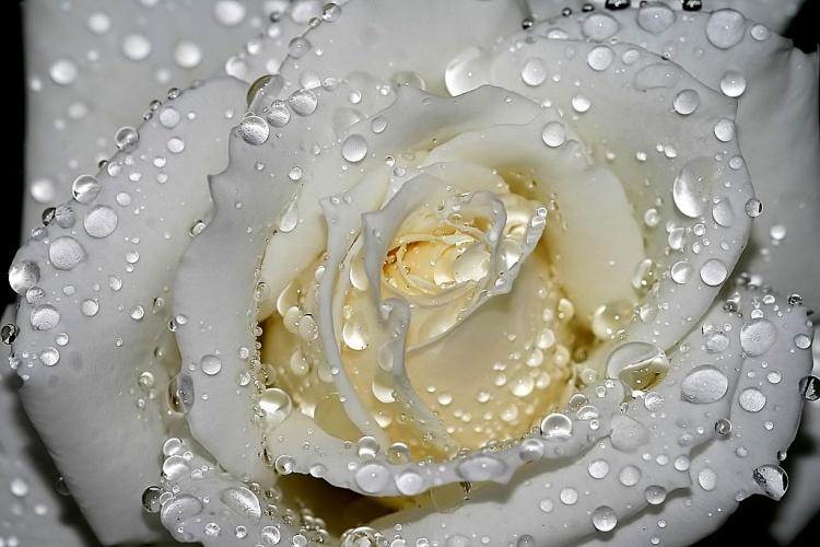 Rosa Branca...