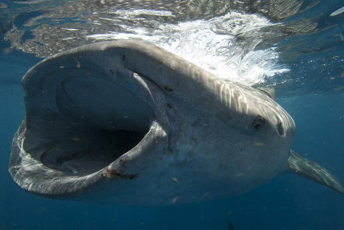 Boca del tiburon ballena