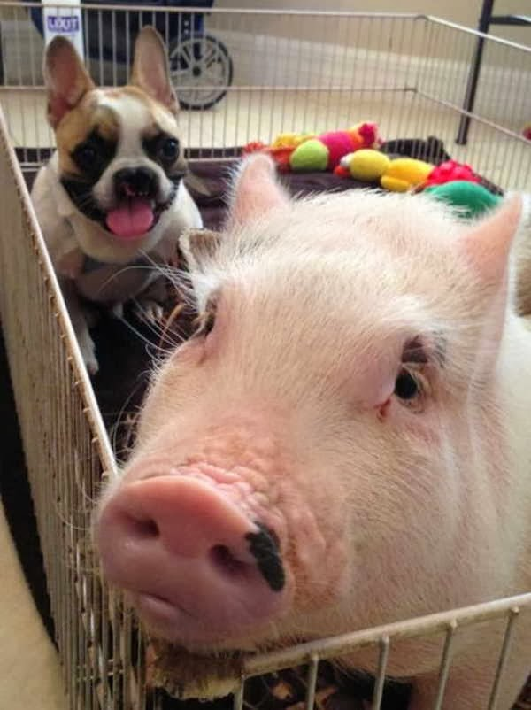 Funny animals of the week - 13 December 2013 (40 pics), dog and pig playing