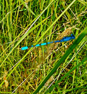 very pretty blue dragonfly