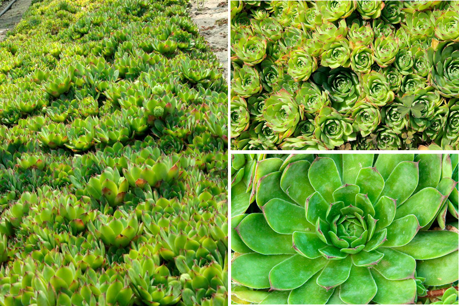 Stone Crop Plants