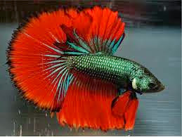 How to breed bettas siamese fighters for How to breed betta fish