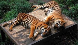 harimau koleksi binatang di kebun binatang bandung