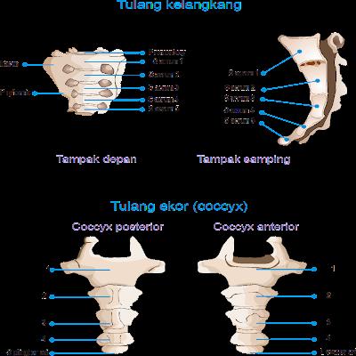 tulang kelangkang