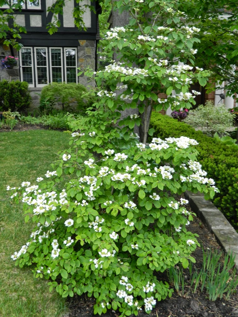 "Viburnum plicatum f. tomentosum  ""Summer Snowflake"" (""Summer Snowflake"" doublefile viburnum) by garden muses-not another Toronto gardening blog"