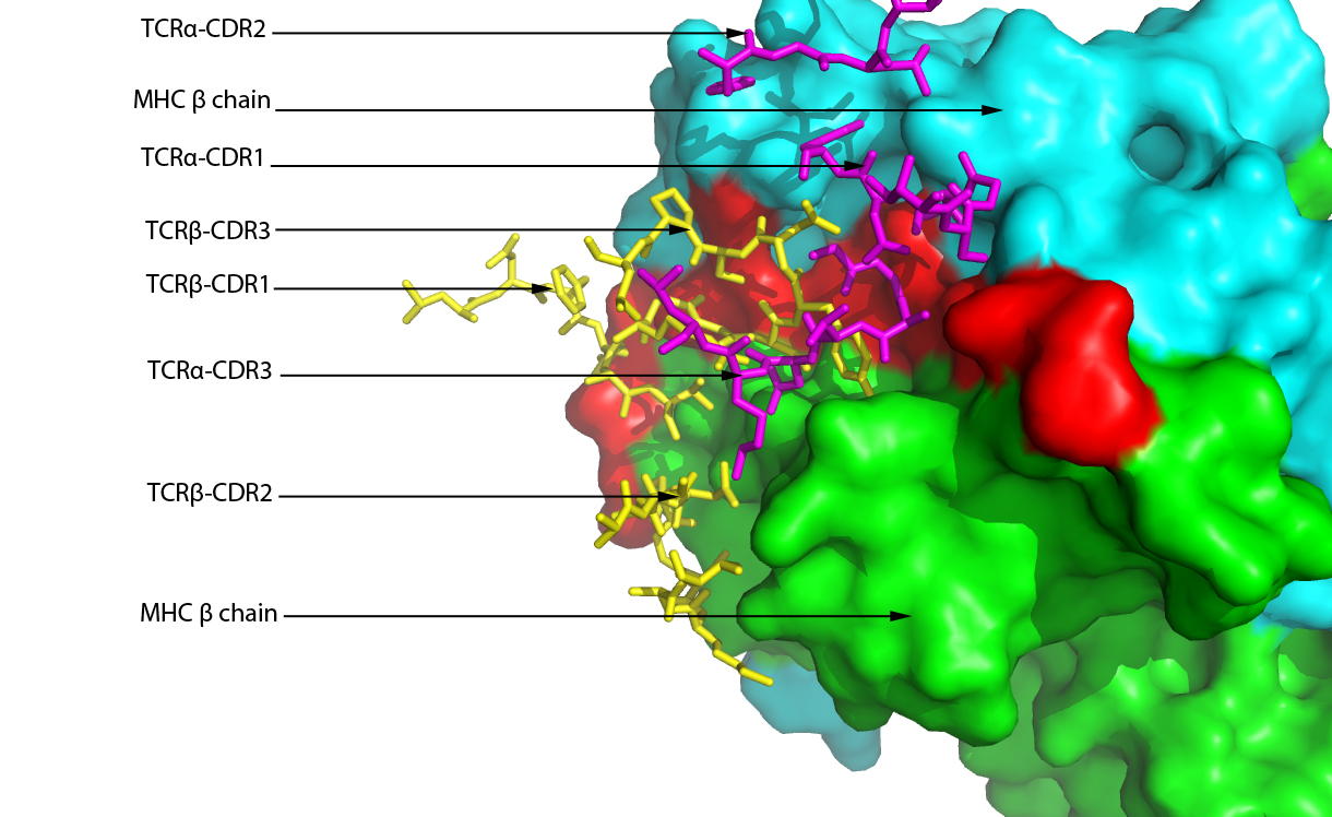 t cell receptor structure pdf
