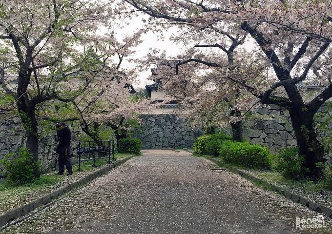 "Cherry tree ""sakura"" at Maizuru park, Fukuoka"