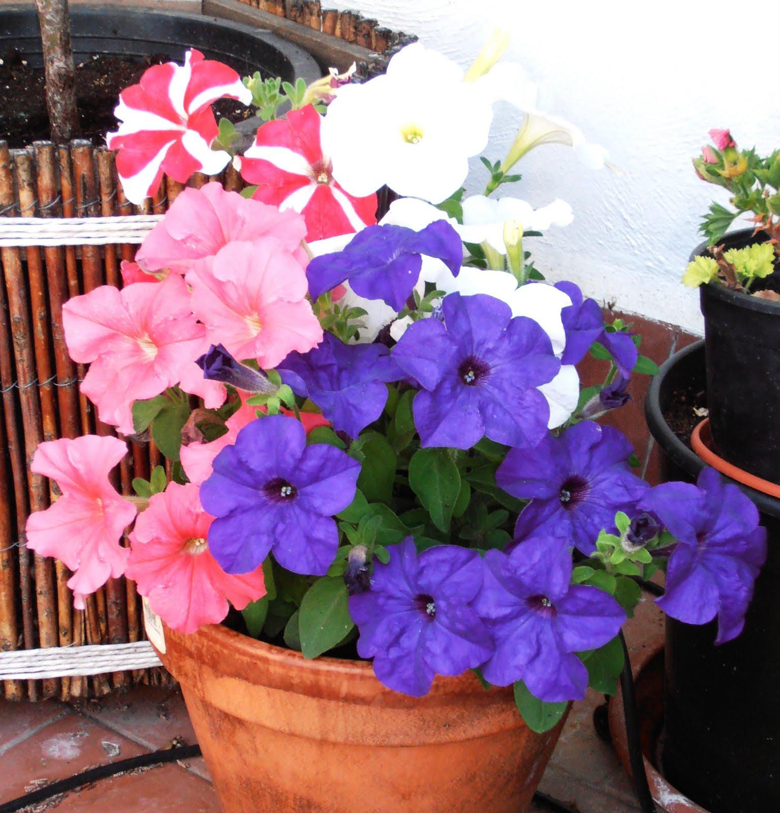En macetas petunias - Plantas de exterior baratas ...