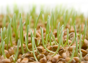 Пророщенное зерно польза