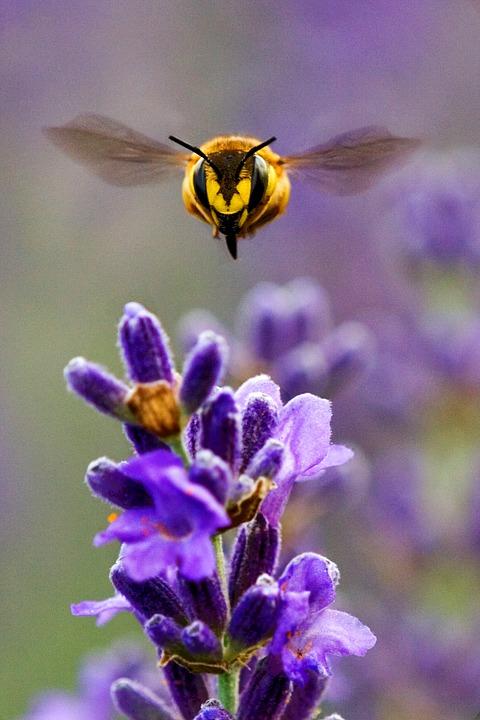 Porque as abelhas estão desaparecendo?