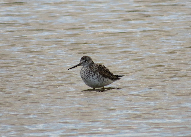 Greater Yellowlegs, Hampshire
