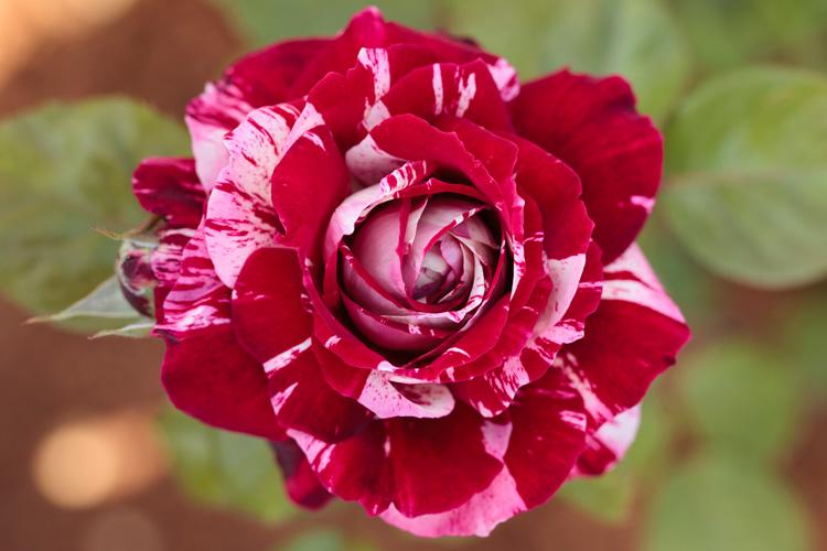Gambar+Bunga+Mawar+Julio+Iglesias,+Mawar+batik - Macam Macam Jenis Bunga Mawar