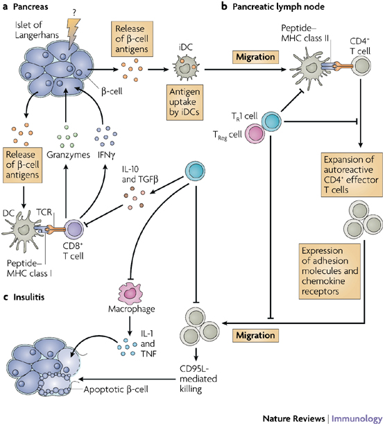 Diabetes Mellitus Type 1  Pathogenesis