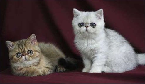 cat, Cats, Exotic Shorthair, pet, pets,
