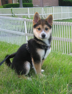 Shiba Inu Puppy Pictures
