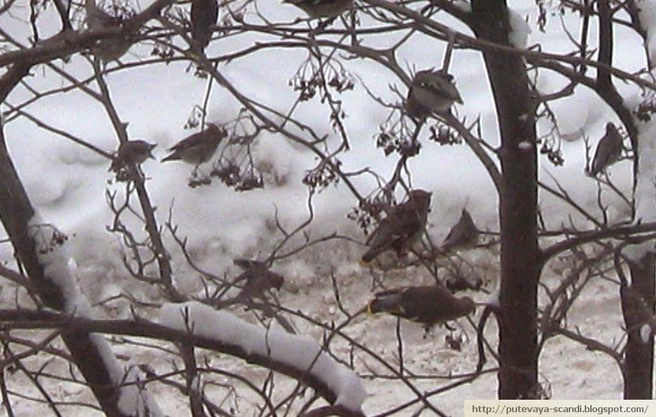 waxwings sitting in rowan tree