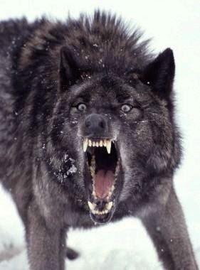 http://1.bp.blogspot.com/-dsiHaXaG4kk/VOm2aBOrBqI/AAAAAAAAR7M/yqw1abnTDOM/s1600/grey-wolf.jpg