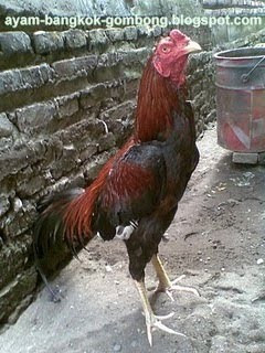 Perbedaan Ayam Taji Dan Ayam Pukul 4