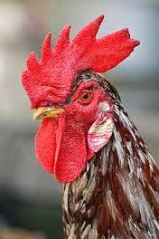 Image Pengobatan Condyloma si jengger ayam | kutil kutil kelamin