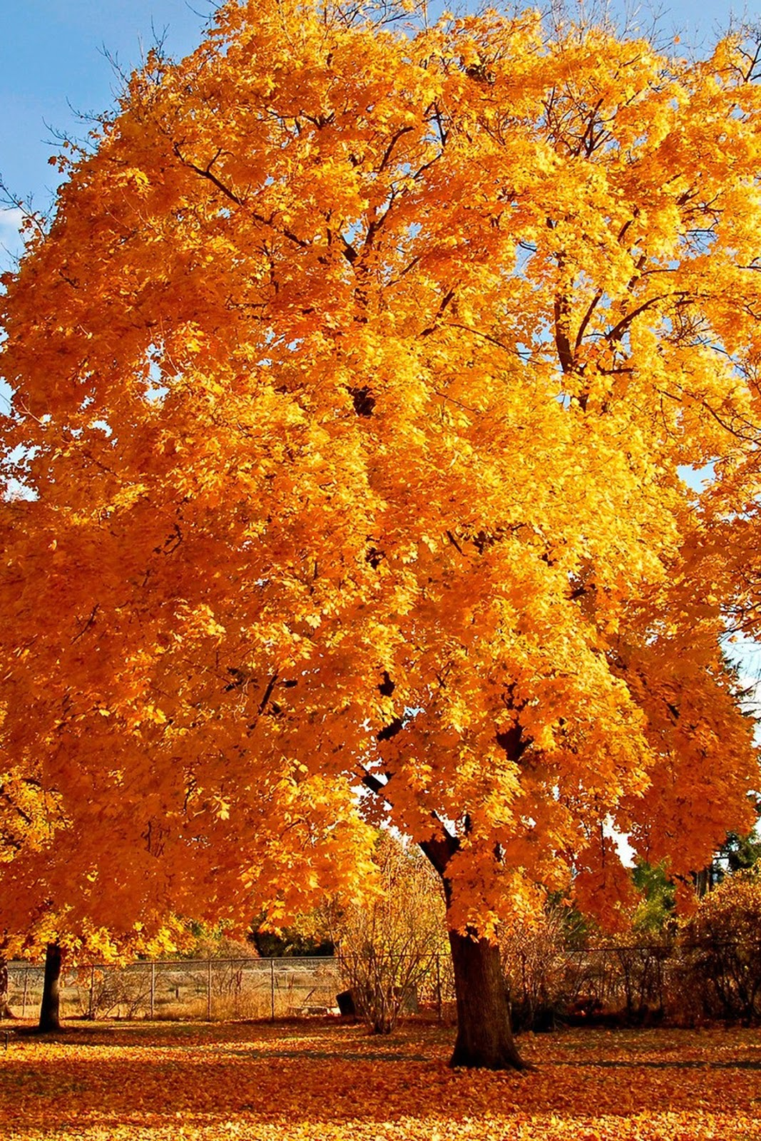 http://1.bp.blogspot.com/-dtQ0v9gy-AQ/Txl2xva23aI/AAAAAAAACCI/Kk7YqZz8P_I/s1600/Autumn+tree+iphone+wallpaper.jpg