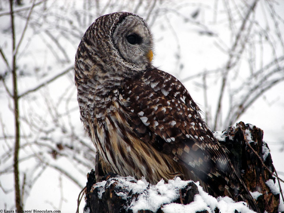 Barred Owl Sounds - Al...