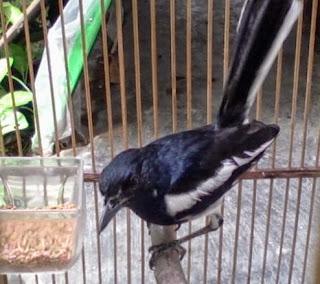 Mengenal Jenis-Jenis Burung Kacer dari Berbagai Daerah