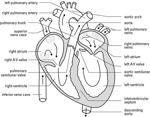 Heart blood flowg 512400 nursing pinterest heart heart blood flowg 512400 nursing pinterest heart diagram student nurse and nclex ccuart Images