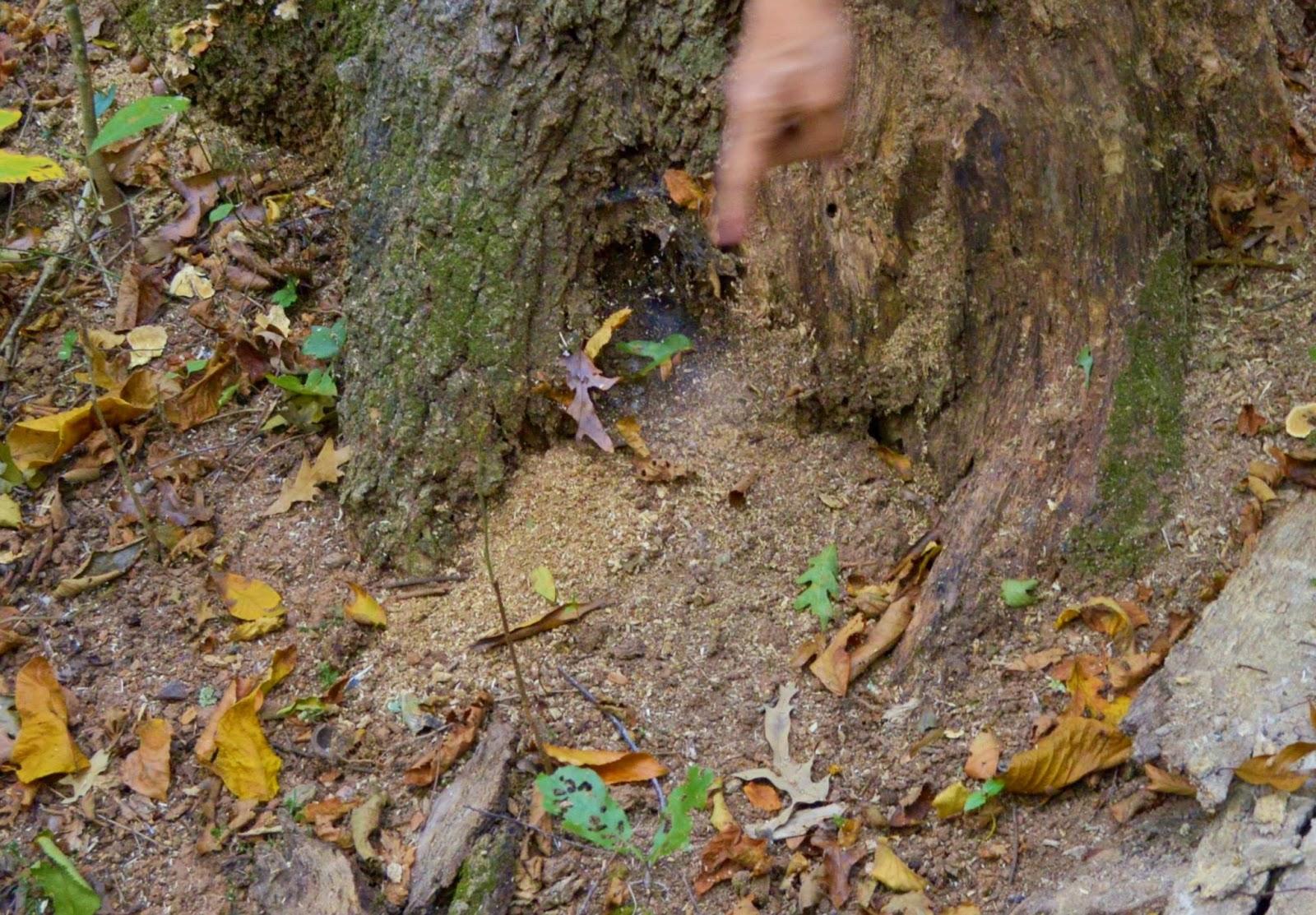 Carpenter Ants Sawdust Piles ~ Nature rambling october ramble report