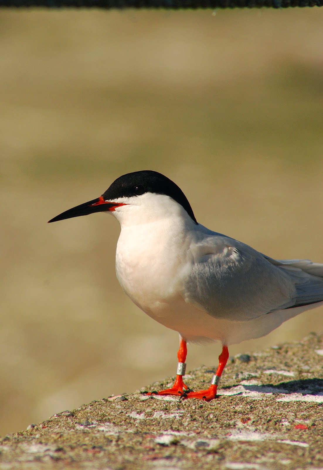 a look at the endangerment of the roseate tern species The roseate tern is a mid-sized tern that can reach a length of 157 inches (40 centimeters) with a wingspan of 236 inches (60 centimeters) (us fish & wildlife service 1999) this species has a black cap, gray upperparts, white underparts, and a white forked tail.