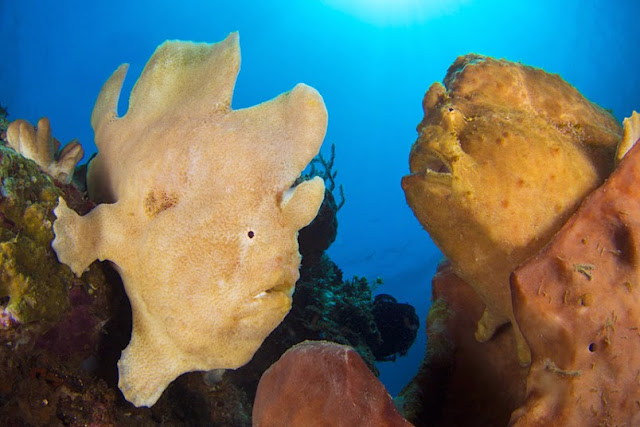 A pair of giant frogfish (Antennarius commersoni)