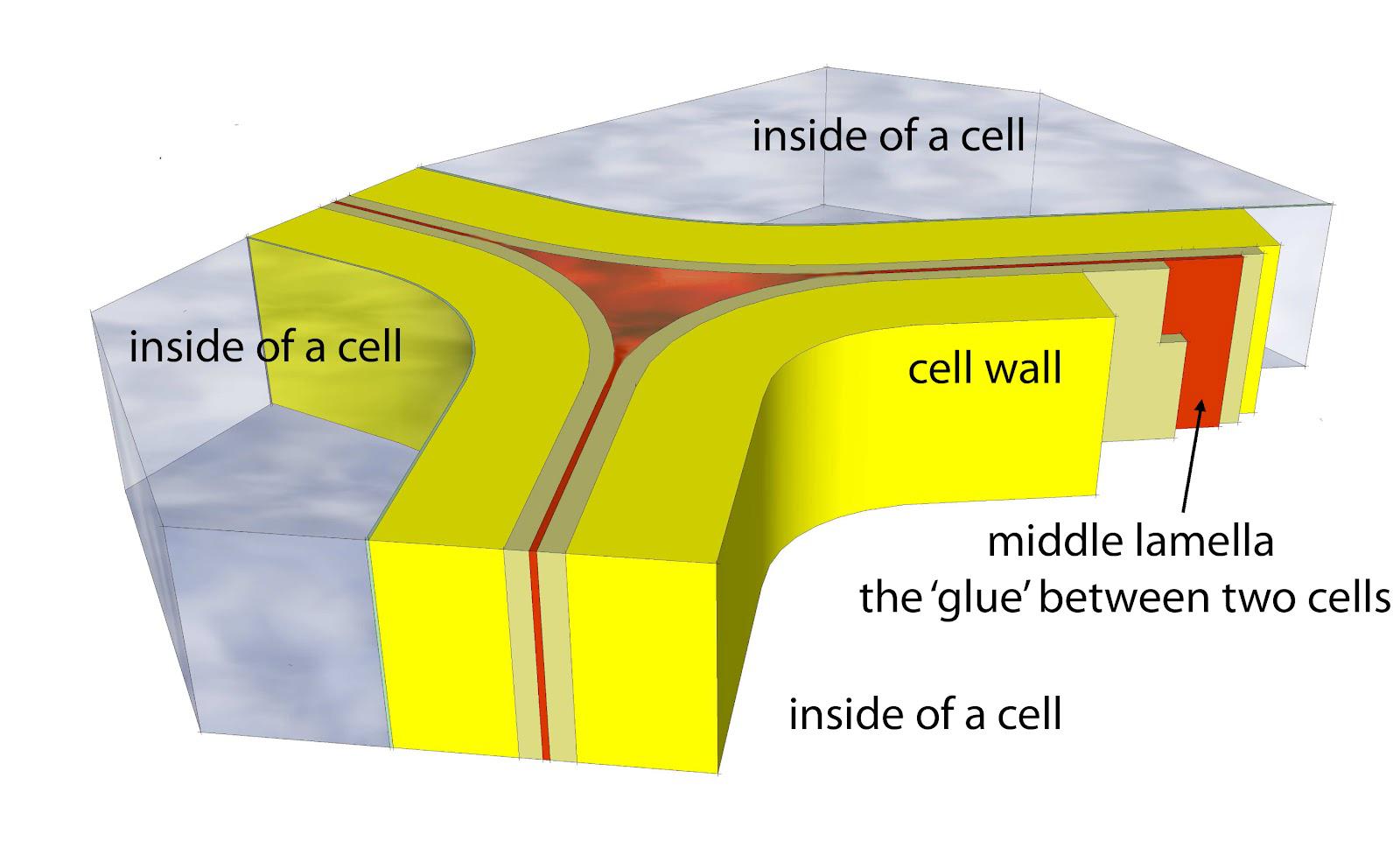 Plant Cell Structure Diagram  Pictures Photos amp Images