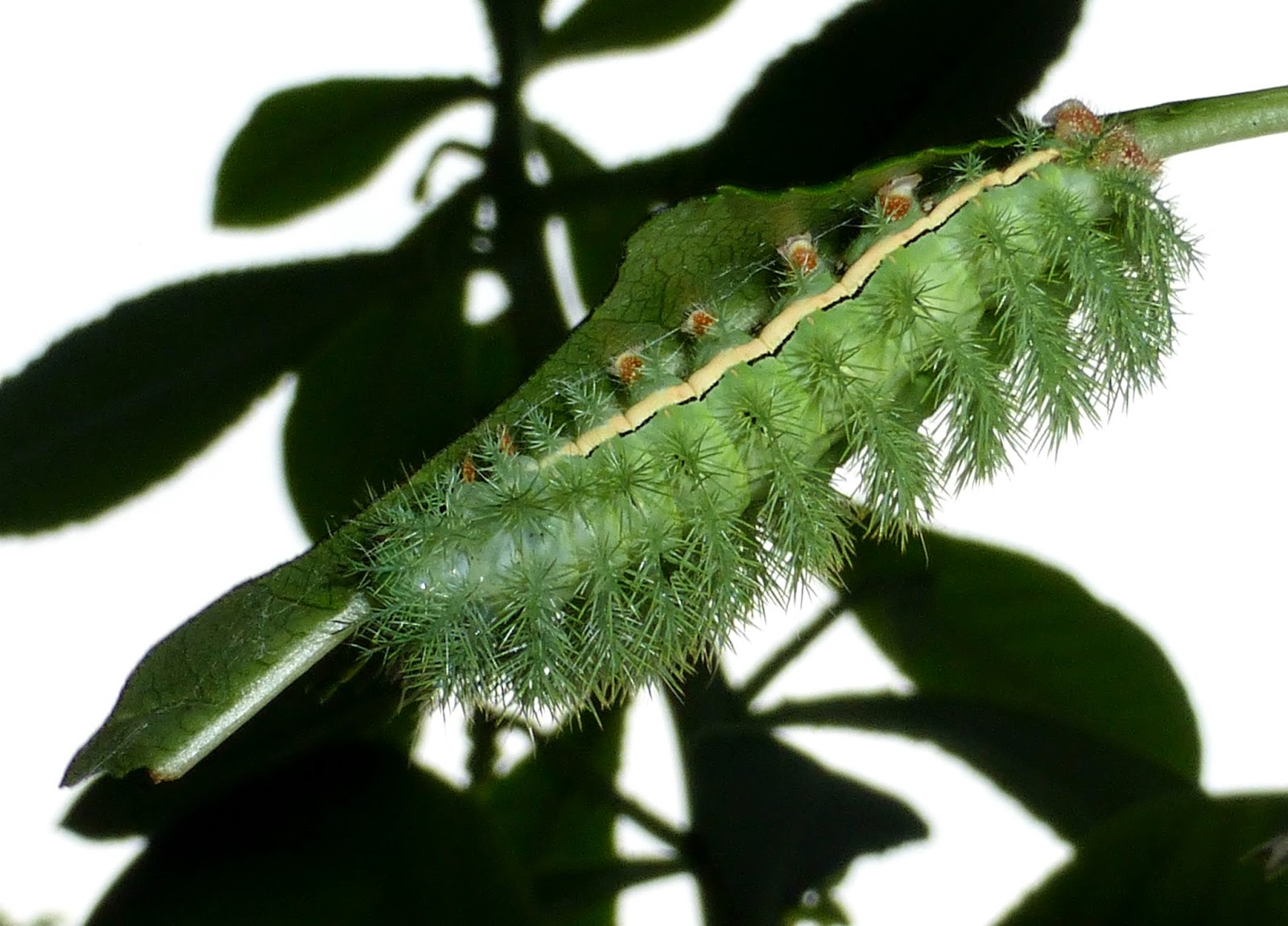 Automeris randa caterpillar