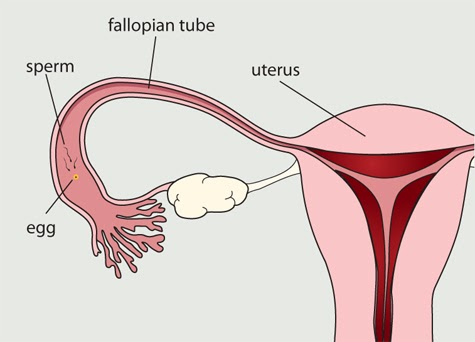 infertility menstrual cycle and cell nuclear Infertility is the inability or failure to conceive after a year of regular intercourse without contraception there are two categories to classify infertility, primary and secondary.