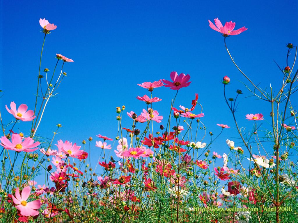 Most Inspiring Wallpaper Mac Spring - 1145165520_1024x768_spring-flower-wallpaper  HD_889743.jpg