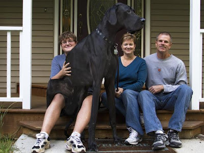World biggest dog 2013