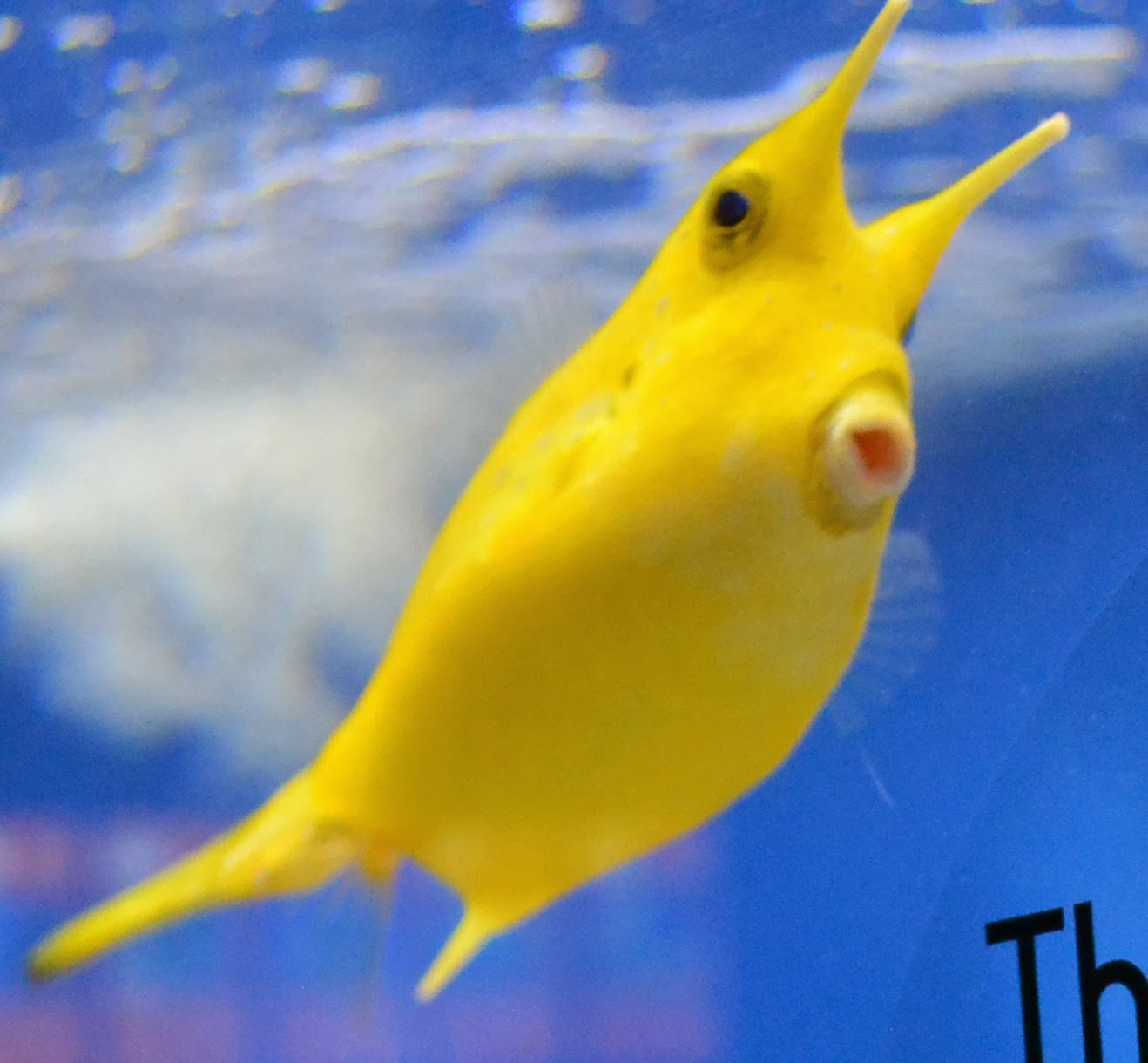 Bright yellow baby box fish